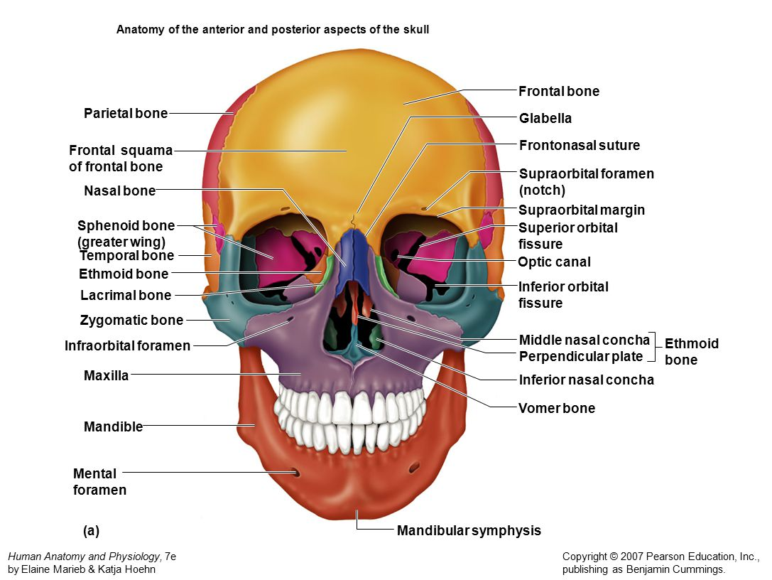 The Axial Skelton Activity Ppt Video Online Download