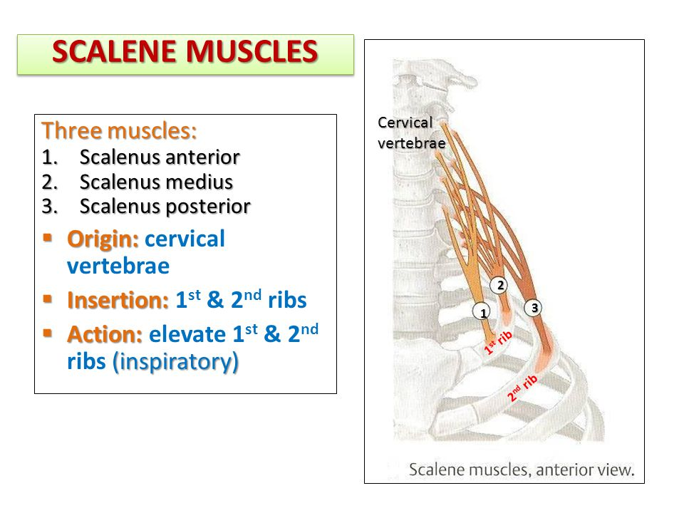 Scalenes Muscles To Rib