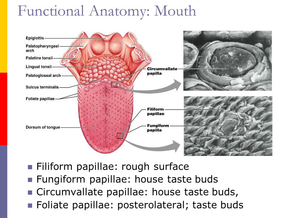 Enlarged Taste Buds On Back Of Tongue