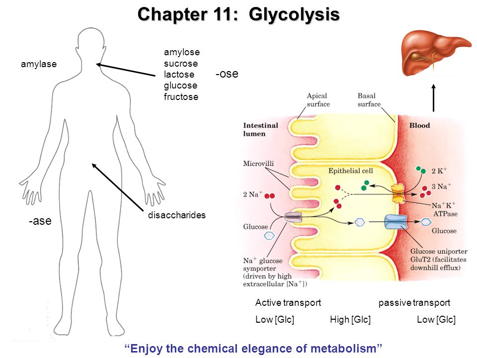 Glycolysis Metabolism