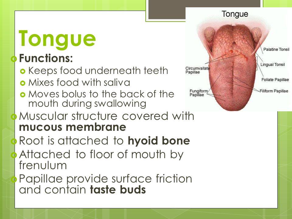 Lips Inside Cavity Oral Anatomy