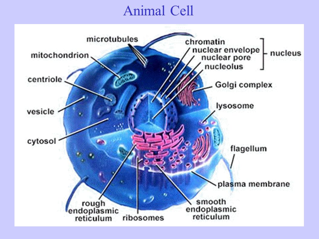 The Structure Amp Function Of Cells