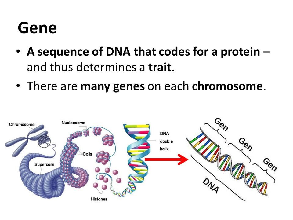 How Does Dna Determine Traits