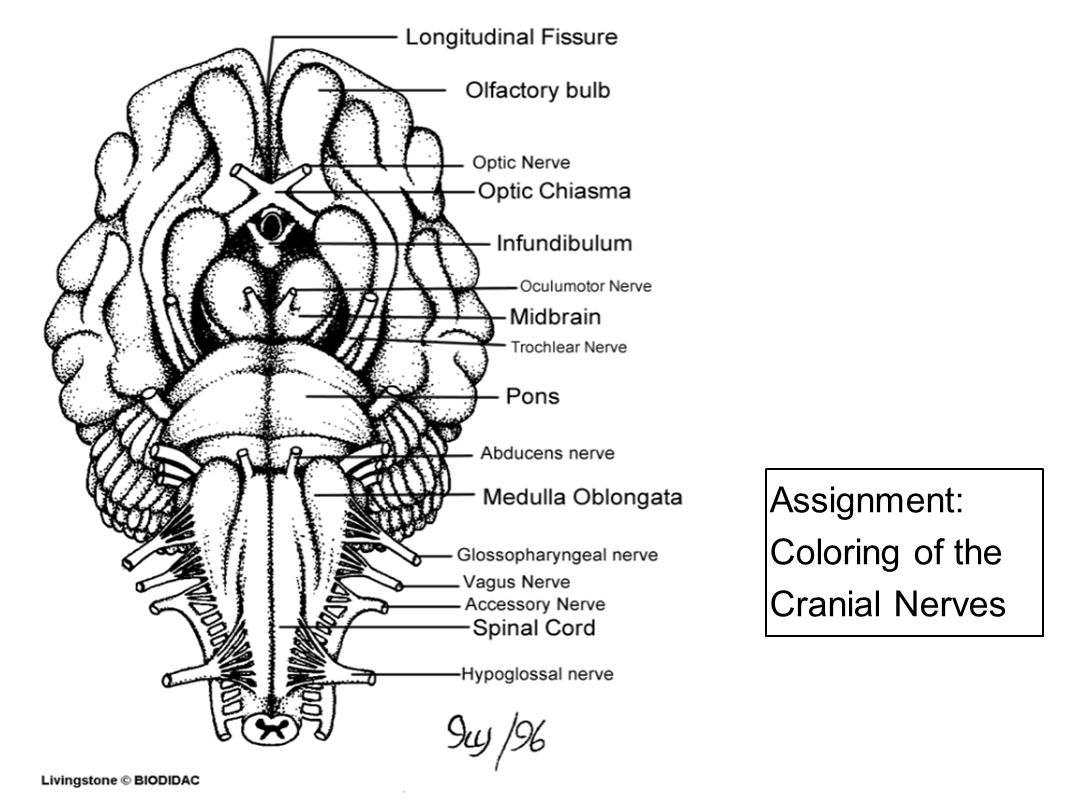 Somatic Nervous System Conscious Activities Skin Skeletal System
