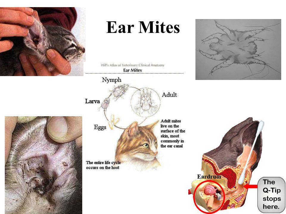 Mites Humans How Treat