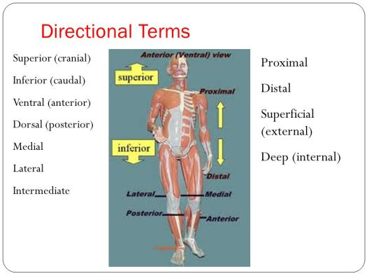 Human Anatomy Directional Terms Test – Periodic & Diagrams Science