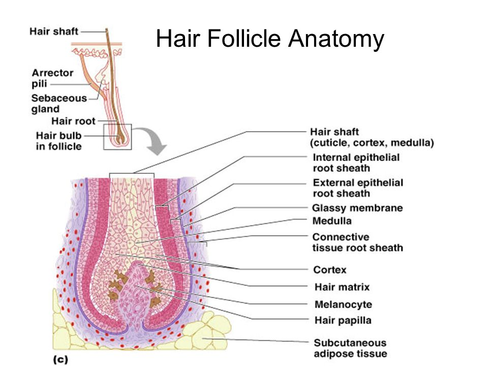 Groß Anatomy Of The Hair Follicle Galerie - Anatomie Von ...