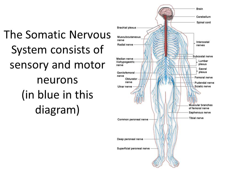 Vertebrae Diagram Labeled Nervous System Custom Wiring Diagram