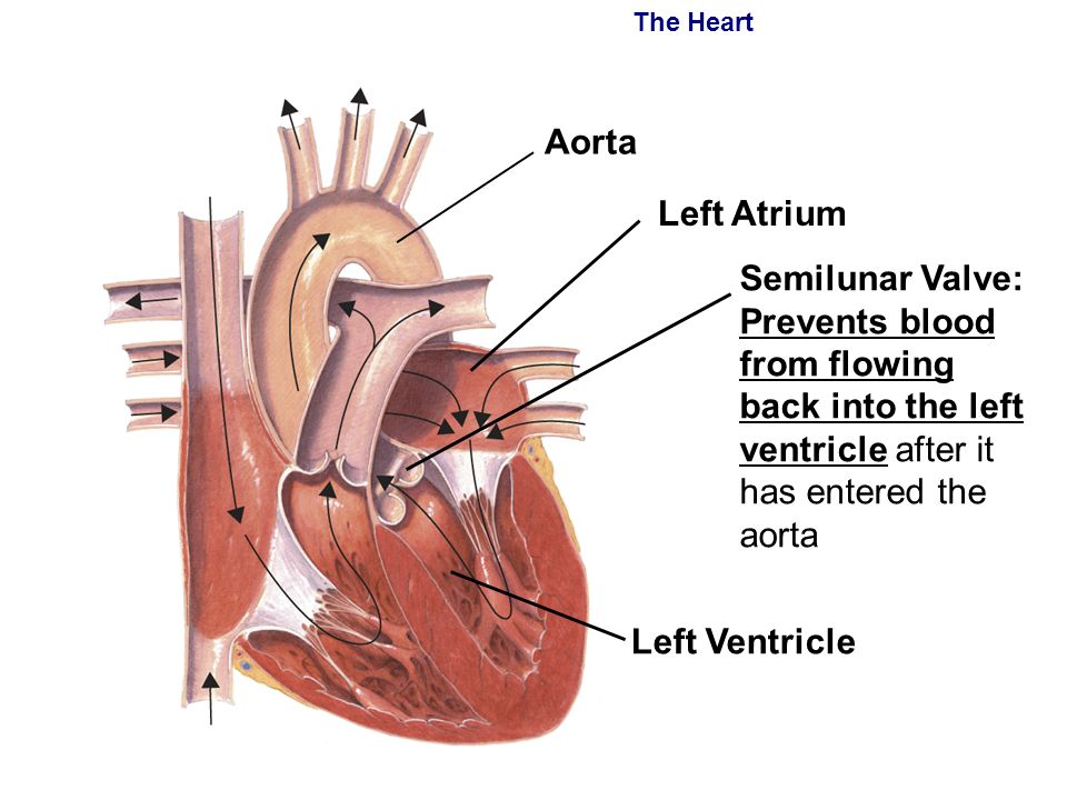 Heart Septum Divides Upper Two Chambers