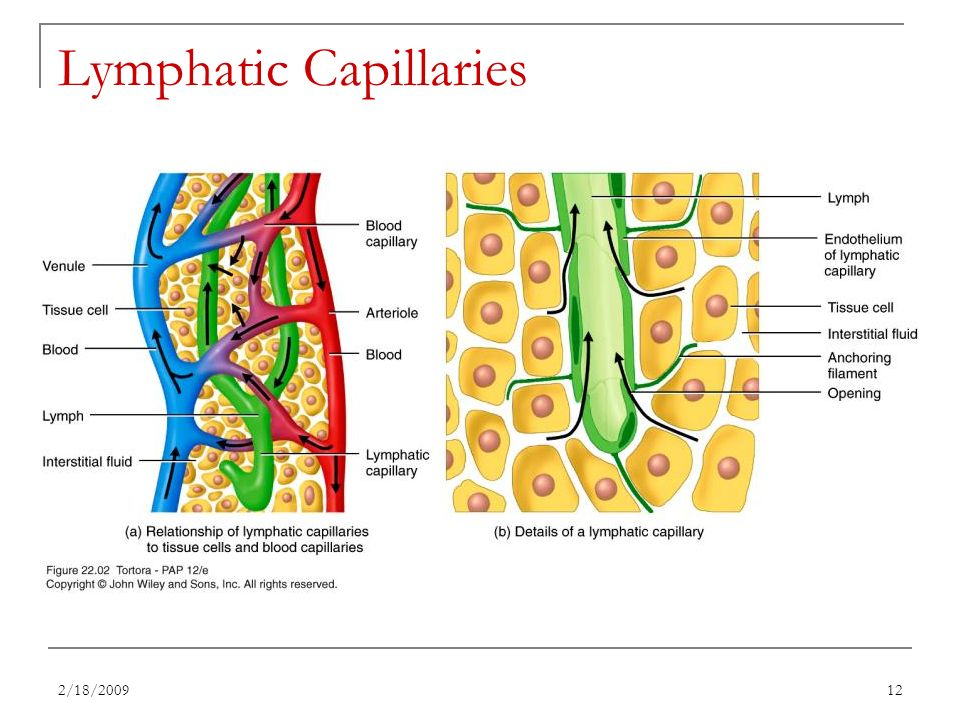 Lymph Capillaries Structure Images