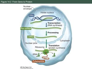 From DNA to Protein: Gene Expression  ppt download