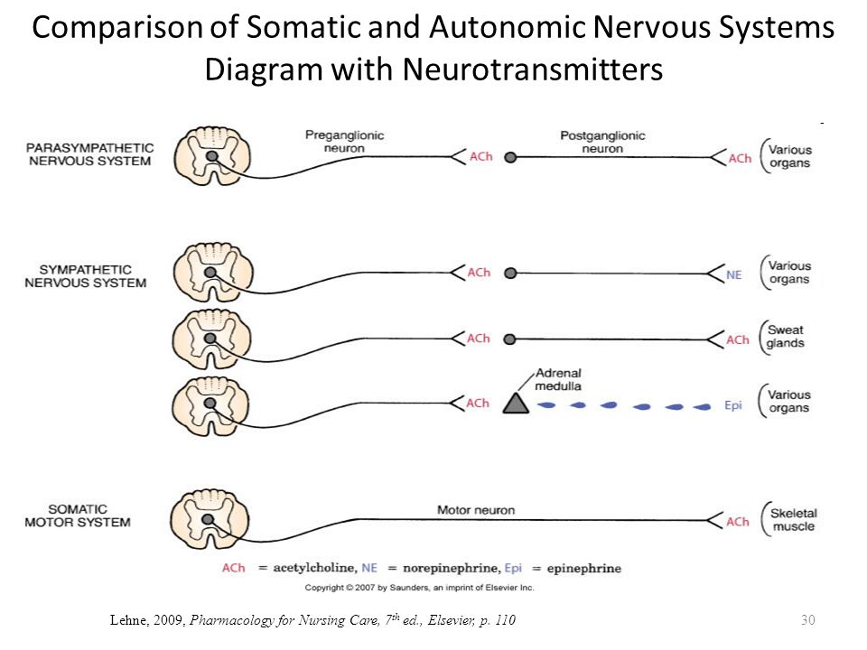 Neurotransmitters Autonomic Nervous System Diagram Diy Enthusiasts