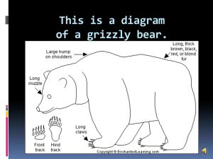 Grizzly Bear MATTHEW OVERTON  ppt video online download