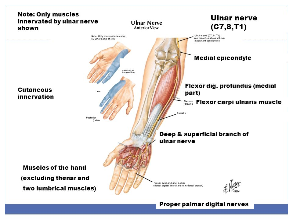 Muscles Innervated Ulnar Nerve