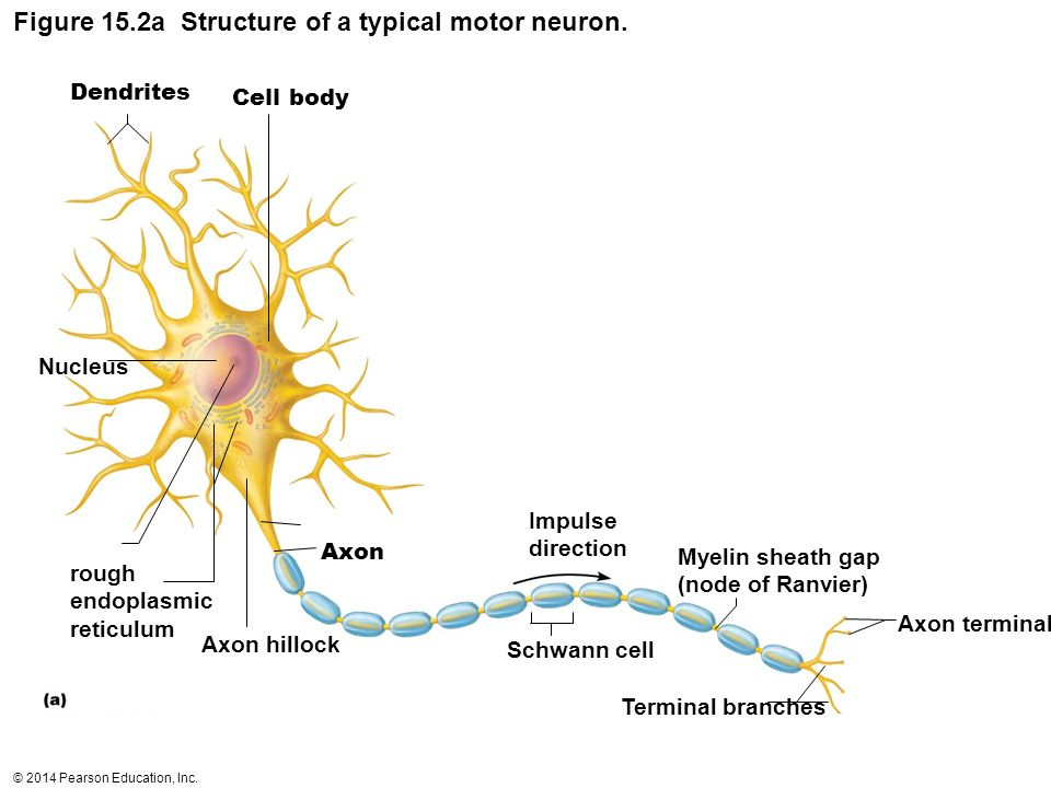 A Typical Mtor Neuron Diagram - Product Wiring Diagrams •