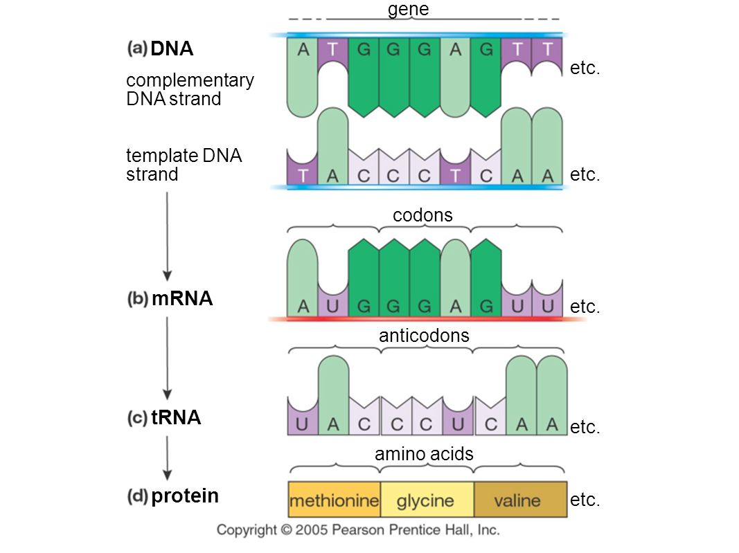How Are Genes Amp Proteins Related
