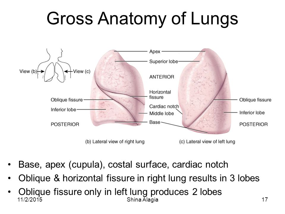 Lung Anatomy Fissures Images - human body anatomy