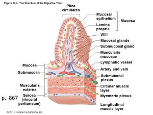 Figure 241 The Components of the Digestive System  ppt video online download