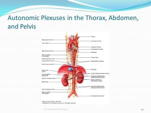 Autonomic Nervous System  ppt video online download
