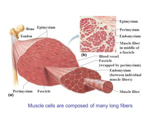 Skeletal Muscle Contraction  ppt video online download