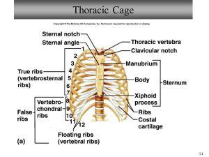 Bio 101 Laboratory 7 Vertebral Column & Thoracic Cage  ppt download