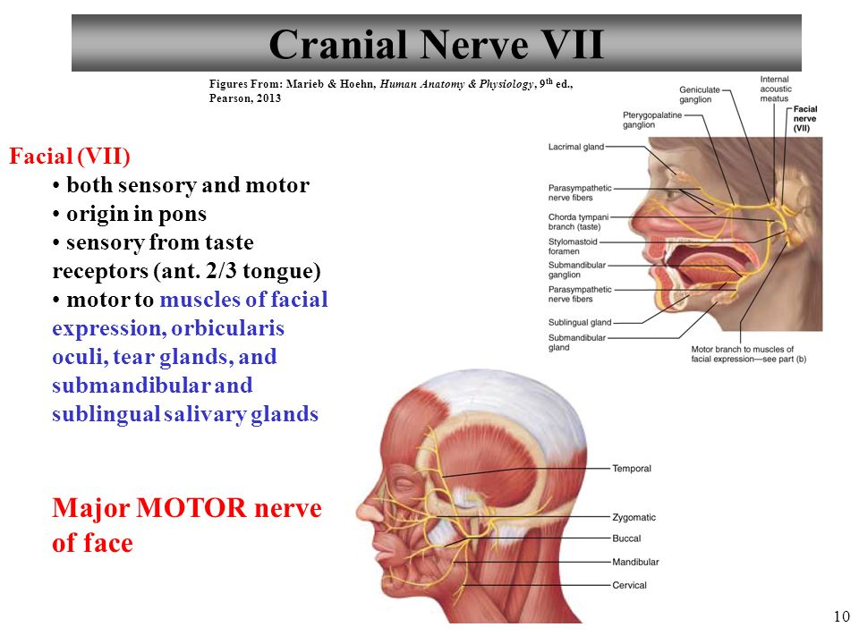 Cranial Nerve 7 Sensory Or Motor | Newmotorspot.co