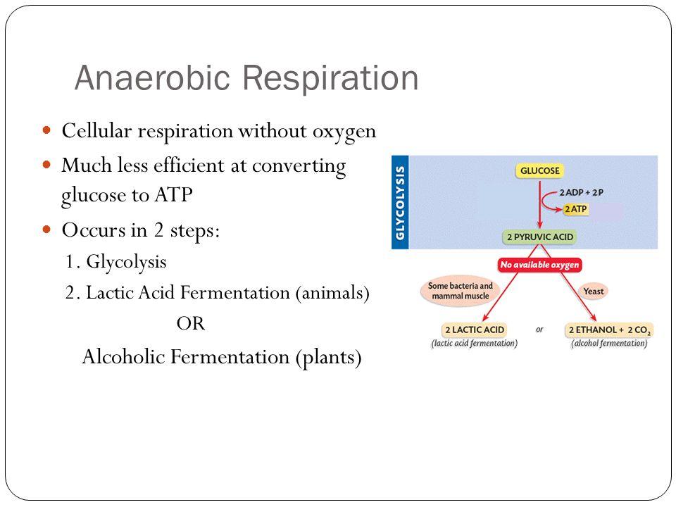 Biology Ethanol Fermentation