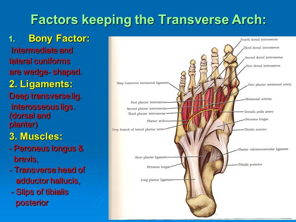 Transverse Ligament Plantar Metatarsal