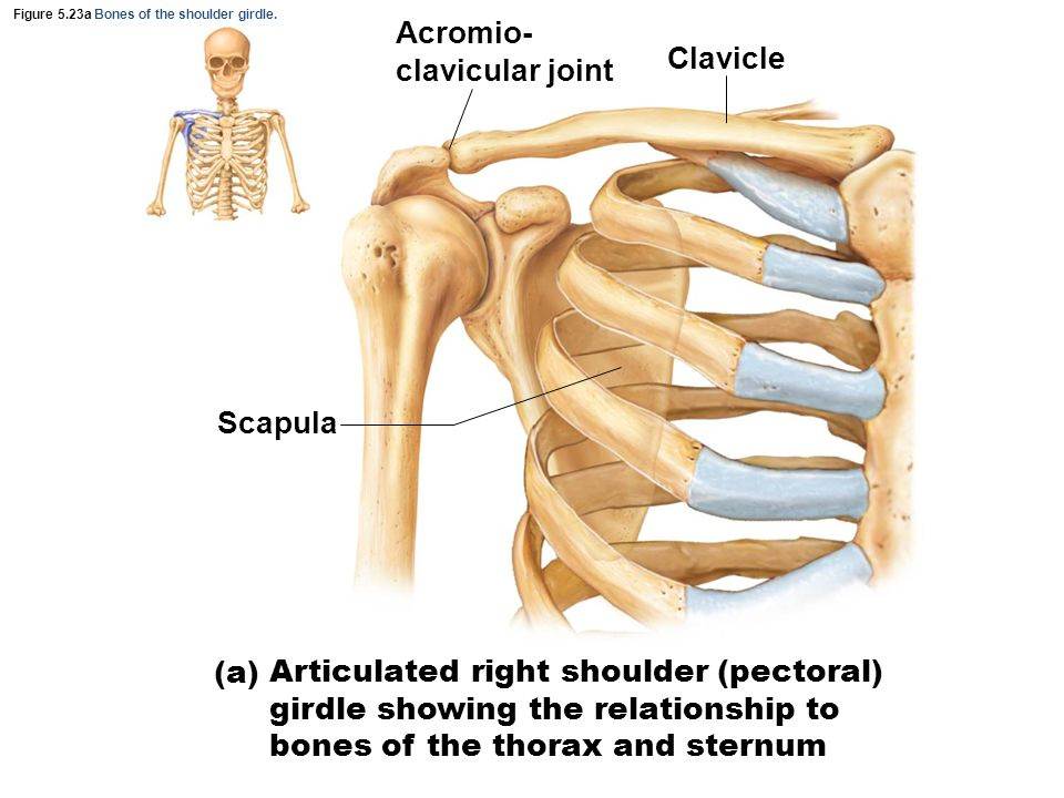 Shoulder Joint Anatomy Anterior View