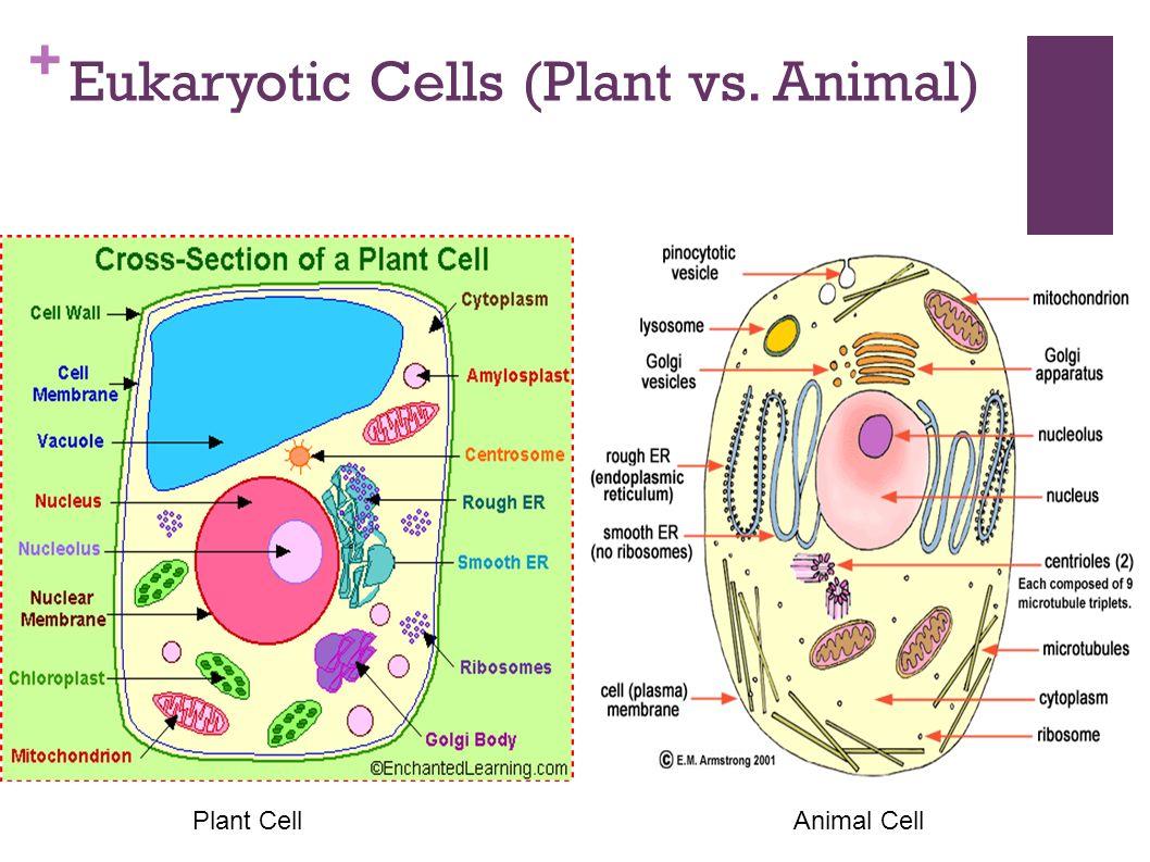 Plant Vs Animal Cell Worksheet