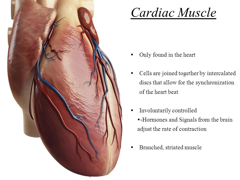 Contractile Cardiac Muscle Cell