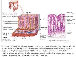 Histology of digestive system Small, large Intestine & Organs Associated With the Digestive