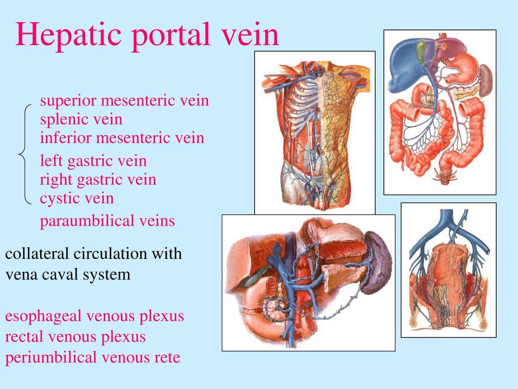 Left Gastric Artery Splenic Artery