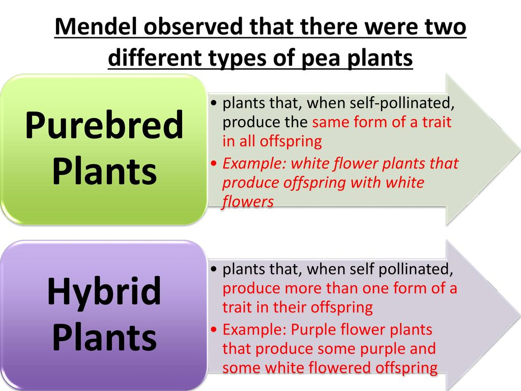Why Is It Important That Mendel Began With Purebred Plants