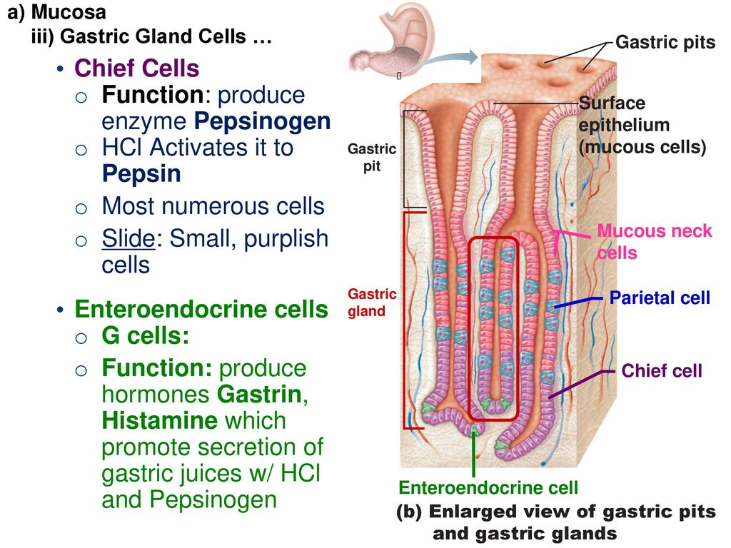 Ch 23 The Digestive System