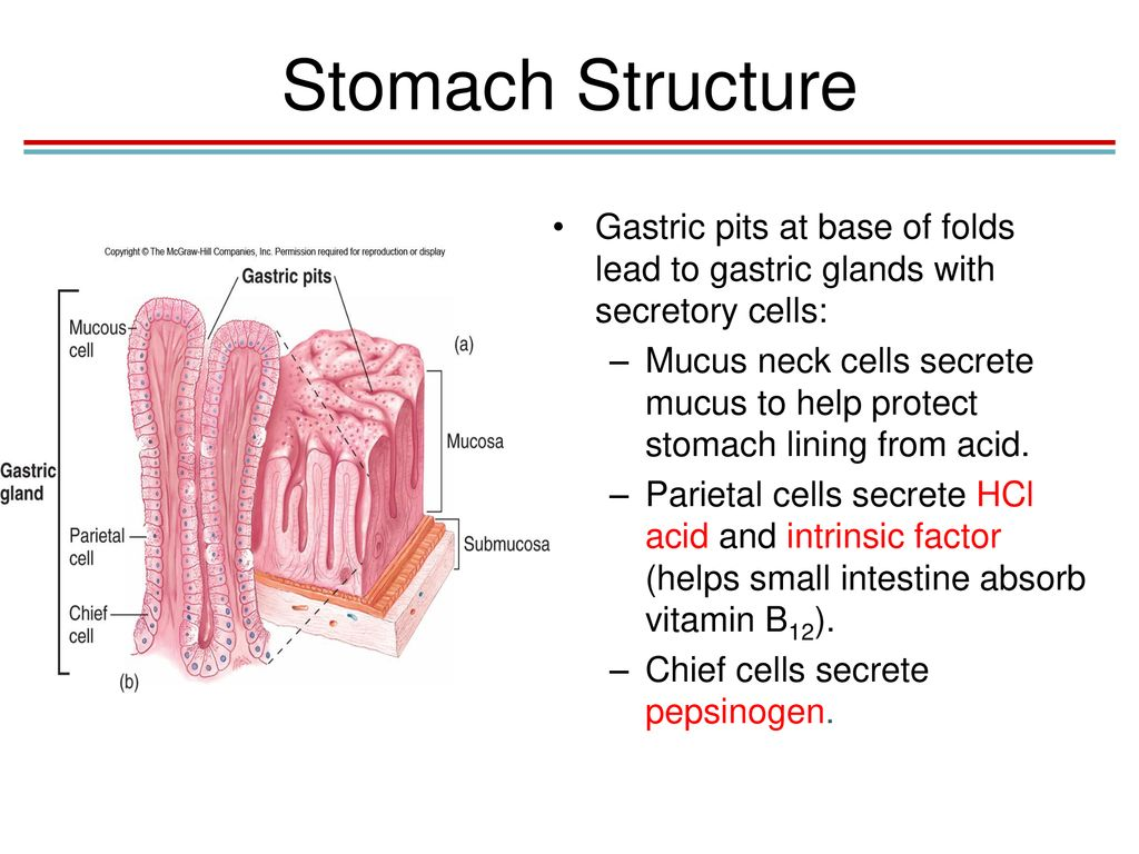 Chapter 18 The Digestive System Lecture Powerpoint