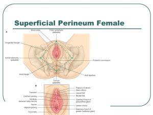 Pelvis  Perineum  ppt download
