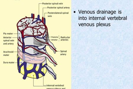 interior internal vertebral venous plexus » Full HD MAPS Locations ...