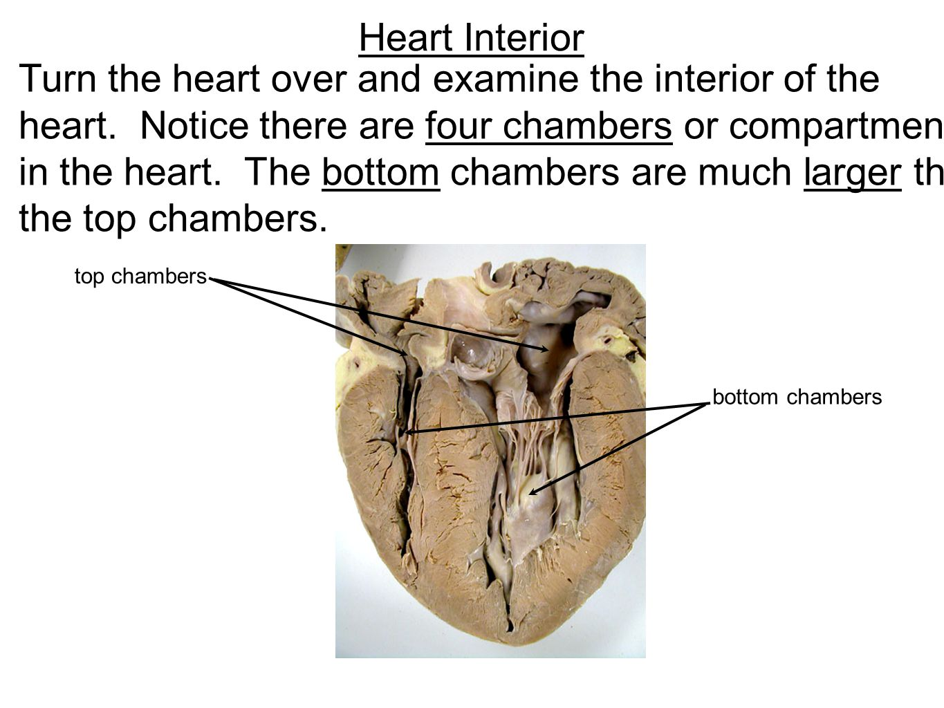 Heart Structure Diagram Of The Sheep - Block And Schematic Diagrams •