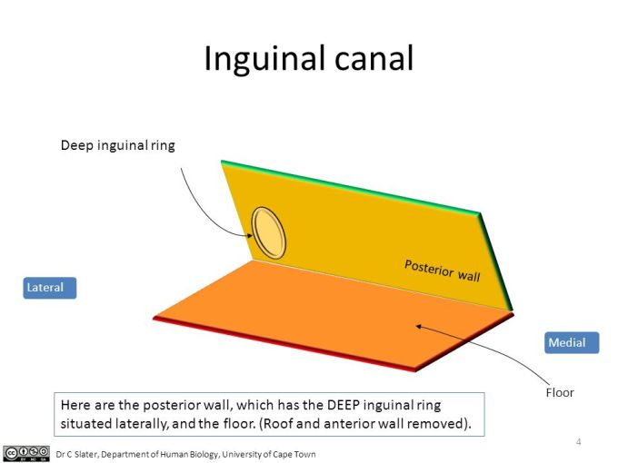 Roof And Floor Of Inguinal Canal Wikizie
