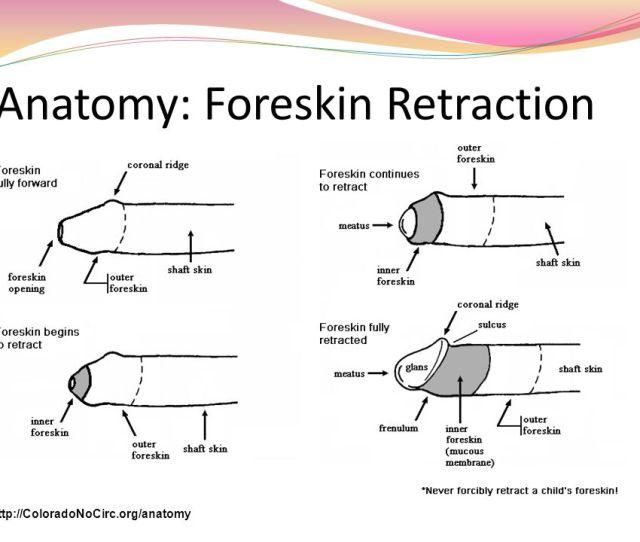 Anatomy Foreskin Retraction