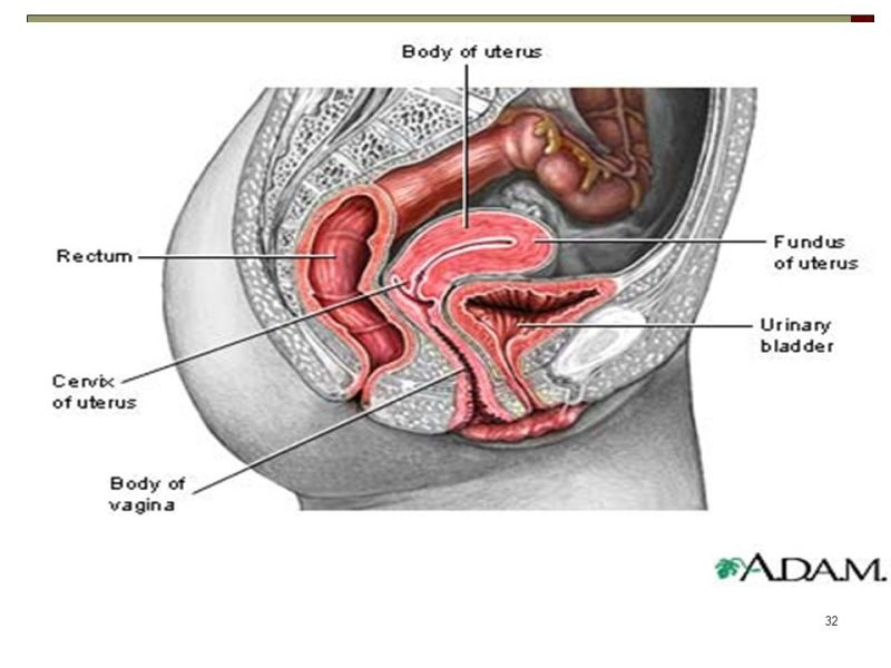 female genital anatomy images » Path Decorations Pictures | Full ...