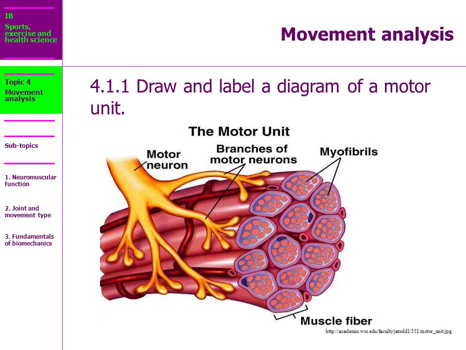 Make a labelled diagram of motor neuron newmotorspot 4 1 draw and label a diagram of motor unit ppt online ccuart Image collections