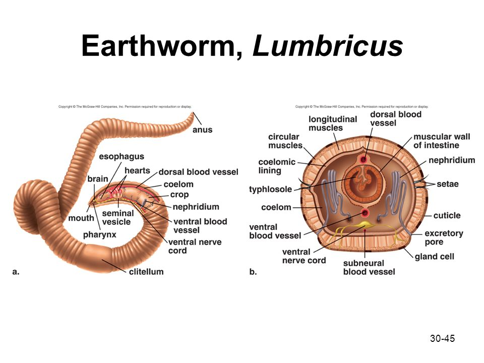 Earthworm Lumbricus Diagram - Wiring Diagram Services •