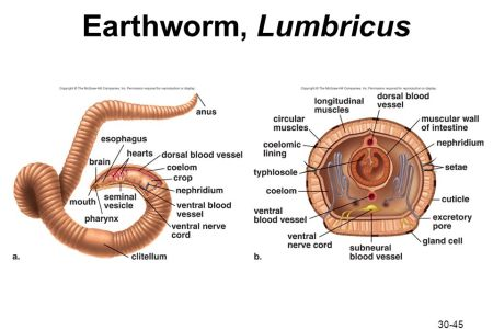 interior anatomy of earthworm » Full HD MAPS Locations - Another ...