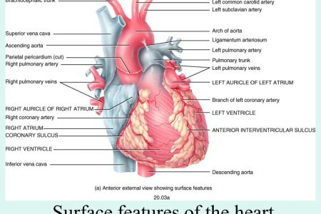 Surface features of the heart full hd pictures 4k ultra full external features of heart heart posterior view internal structure of the heart contemporary health issues in this figure the top panel shows the image of ccuart Images