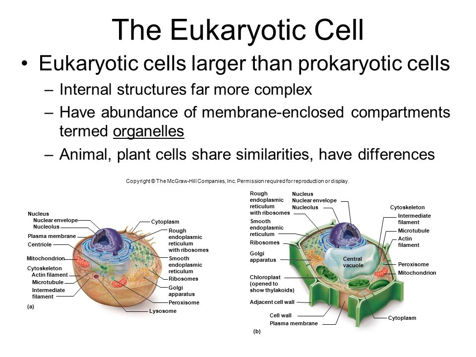The+Eukaryotic+Cell+Eukaryotic+cells+larger+than+prokaryotic+cells diagram of prokaryotic cell mcgraw hill companies wiring diagrams lose