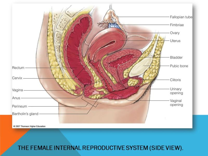 female genital anatomy illustration » Path Decorations Pictures ...