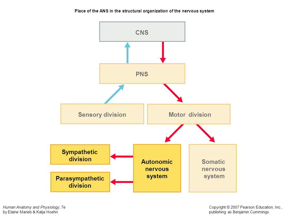 Motor Division Nervous System