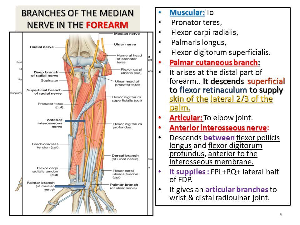 Anterior Elbow Anatomy Skin